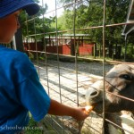 My son feeds a donkey