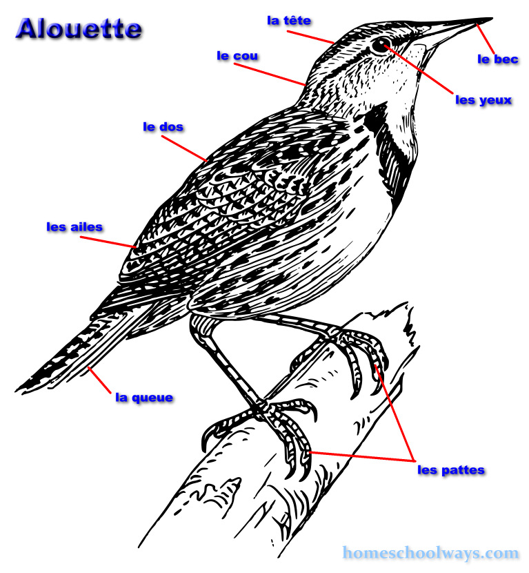 Alouette - Lark - body parts in French