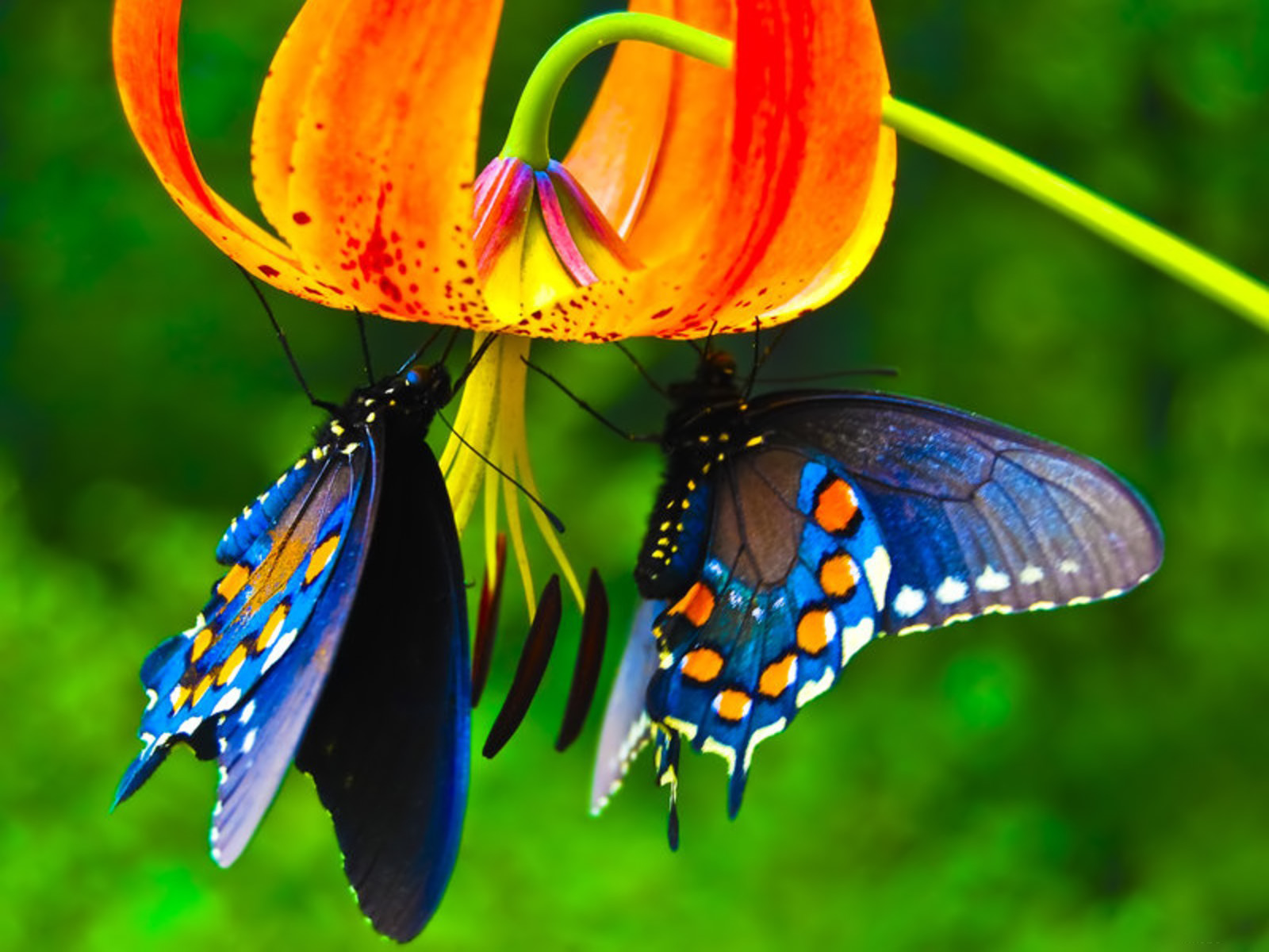 Butterflies on a flower. Gentleness exemplified.