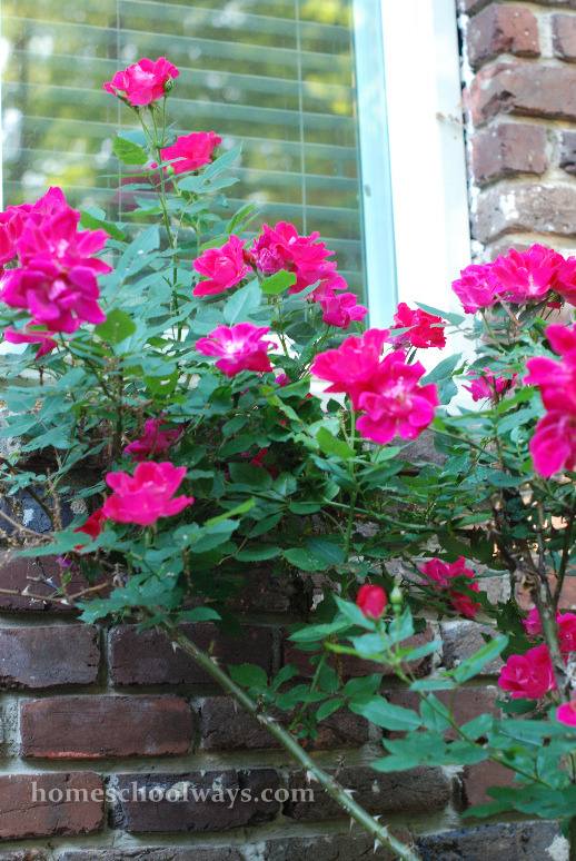 Pink rose bush in front of home