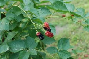 Blackberry bush - almost ripe