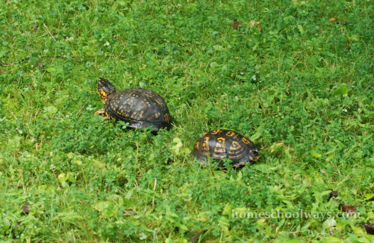 Two turtles in the grass