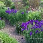Buckhorn Inn Irises