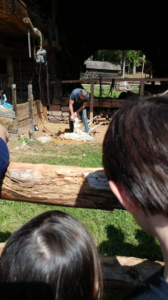 Sheep shearing at the Museum of Appalachia