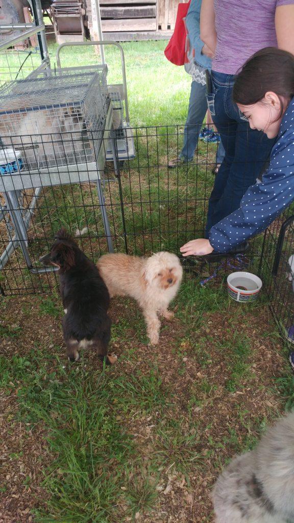 Australian Puppies
